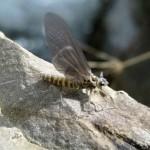 Bug_MayFly1fw